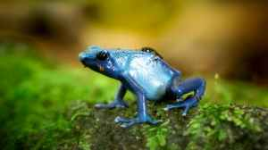 closeup photo of blue poison dart frog on green surface